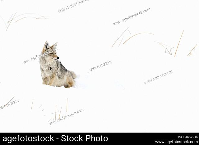 Coyote / Kojote ( Canis latrans ), adult in winter, sitting in deep snow, watching aside attentive, with pointed ears, Yellowstone NP, Wyoming, USA.
