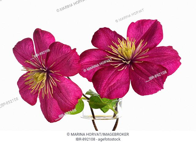 Purple Clematis (Clematis) flowers