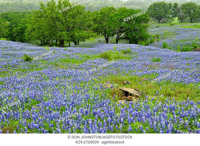 A pasture with Oak trees and flowering bluebonnets, Burnet County, Texas, USA