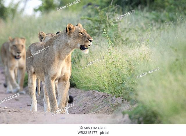A pride of lions, Panthera pardus, walk in a line down a sand road flanked by green grass, looking out of frame