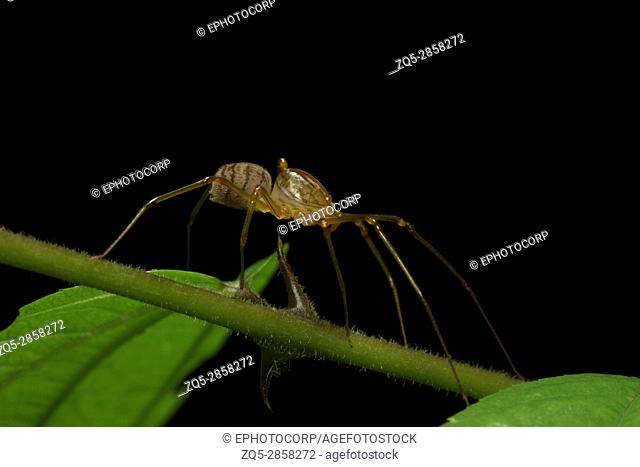 Spitting spider, Aarey Milk Colony , INDIA. Spitting spiders are members of the spider family Scytodidae. There are several genera