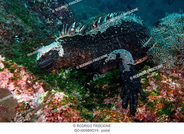 Underwater view of marine iguana by coral, Seymour, Galapagos, Ecuador, South America