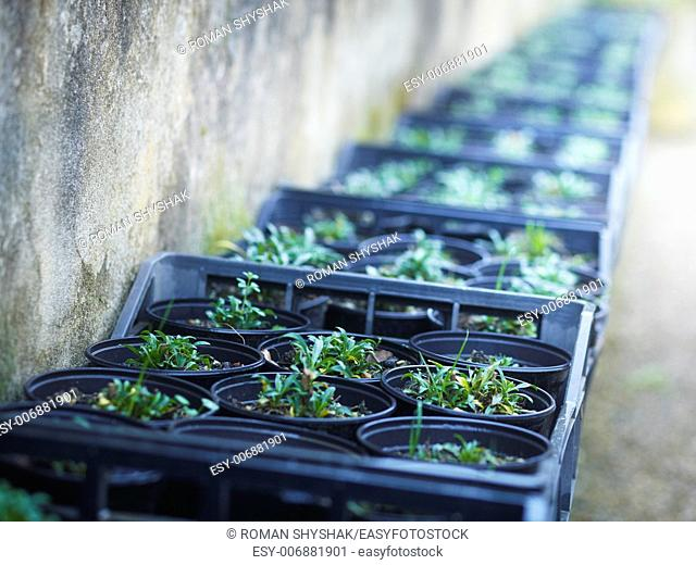 Rows of seedlings in a greenhouse