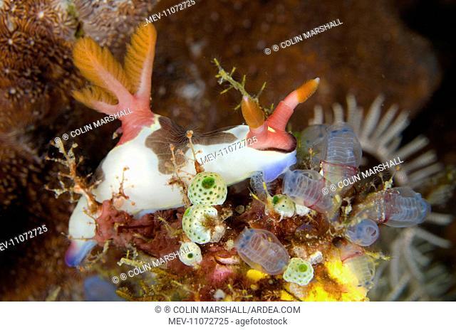 Chamberlain's Nembrotha Nudibranch feeding on Sea Squirts Cannibal Rock dive site, Horseshoe Bay, Nusa Kode, south Rinca Island, Komodo National Park, Indonesia