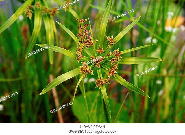 CYPERUS ALTERNIFOLIUS UMBRELLA GRASS