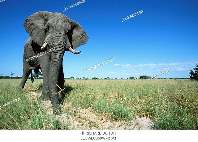 Low Angled View of an African Elephant Loxodonta africana Bull in the Bushveld  Savuti, Chobe National Park, Botswana