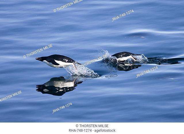 Adelie penguins Pygoscelis adelia, Dumont d'Urville, Antarctica, Polar Regions