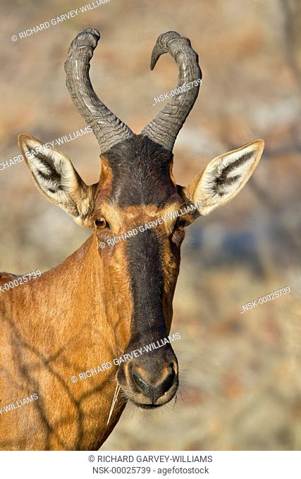 Portrait of a Red Hartebeest (Alcephalus buselaphus) staring at the camera, Namibia, Etosha National Park