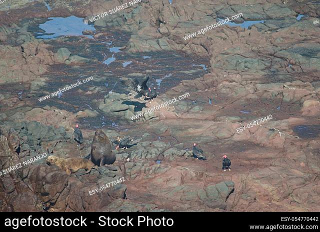 South American sea lions Otaria flavescens and turkey vultures Cathartes aura. Las Cuevas. Arica. Arica y Parinacota Region. Chile
