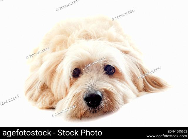 portrait of a griffon in front of white background