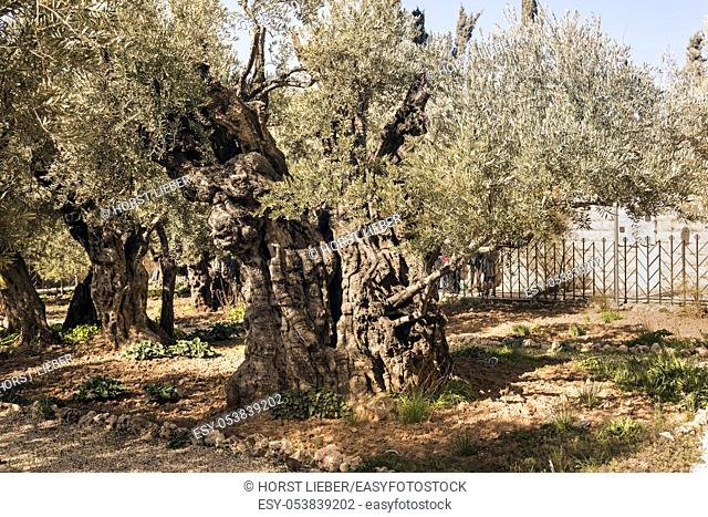 Olive trees (Olea europaea) in the garden of Gethsemane, Mount of Olives, Jerusalem, Israel, Middle East