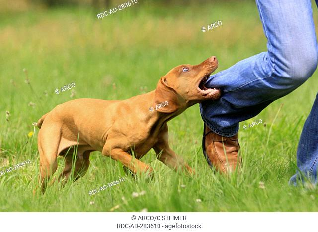 Biting In Trousers Leg Stock Photos And