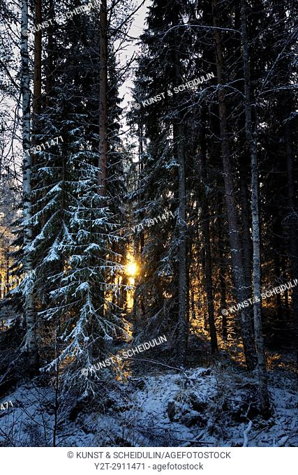The low winter sun shines through tree trunks in a wintry forest. Bredbyn, Västernorrland, Sweden