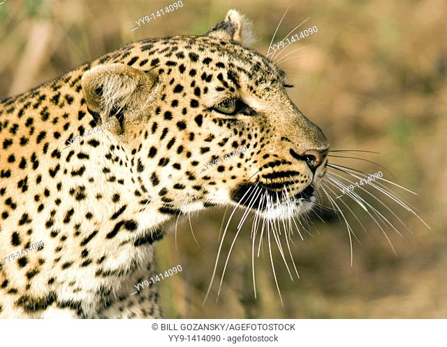 Close-up of Leopard - Masai Mara National Reserve, Kenya