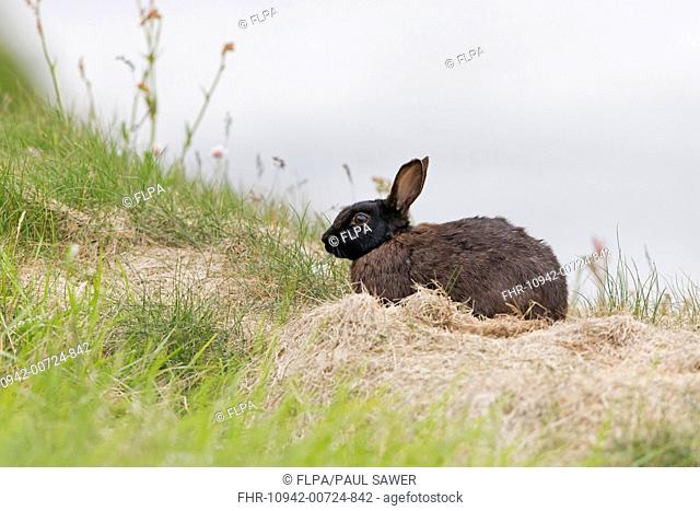 European Rabbit (Oryctolagus cuniculus) melanistic form, adult, resting on coastal cliff, Sumburgh Head RSPB Reserve, Mainland, Shetland Islands, Scotland, June