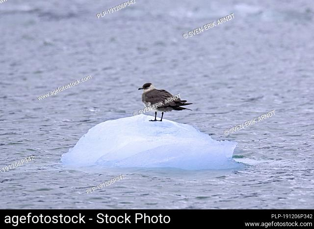 Arctic skua / parasitic skua / parasitic jaeger (Stercorarius parasiticus) resting on block of drifting ice in summer, Svalbard / Spitsbergen, Norway