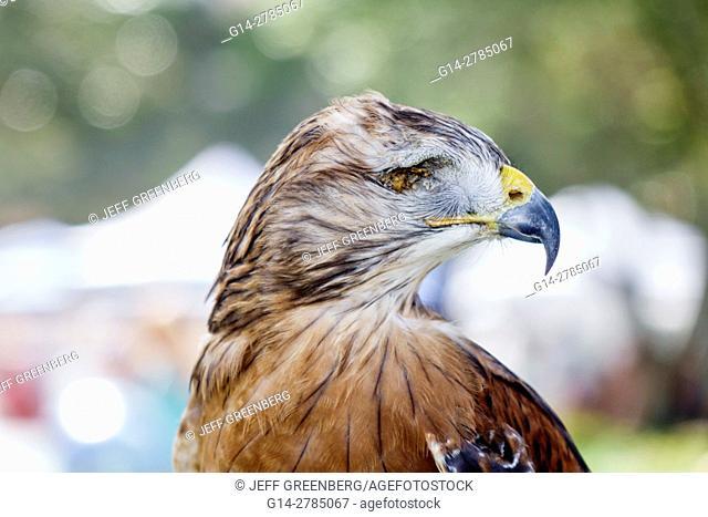 Florida, St. Saint Petersburg, red shouldered hawk, injured, missing eye