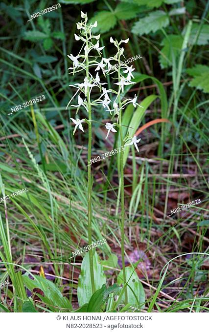 Greater Butterfly Orchid (Platanthera chlorantha) in flowering at the edge of wood - Naturpark Altmuehltal, Bavaria/Germany