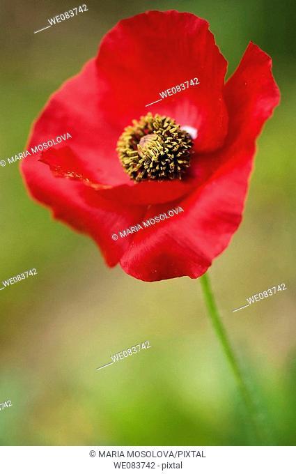 Red Shirley Poppy. Papaver rhoeas