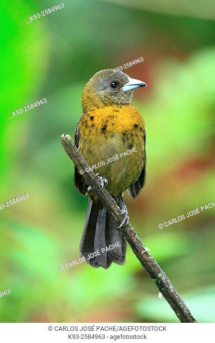 Tangara de passerini (Ramphocelus passerinii). Parque Nacional Volcán Arenal, Costa Rica