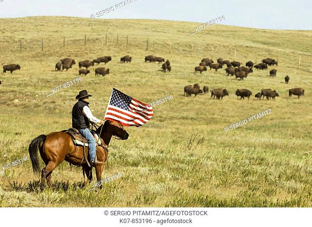 Cowboy at Bison Roundup, Custer State Park, Black Hills, South Dakota, USA