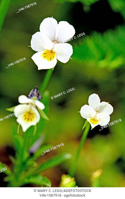 European Field Pansy, Viola arvensis. Three small flowers against dark green background. Small white violet with yellow marking on lower lip