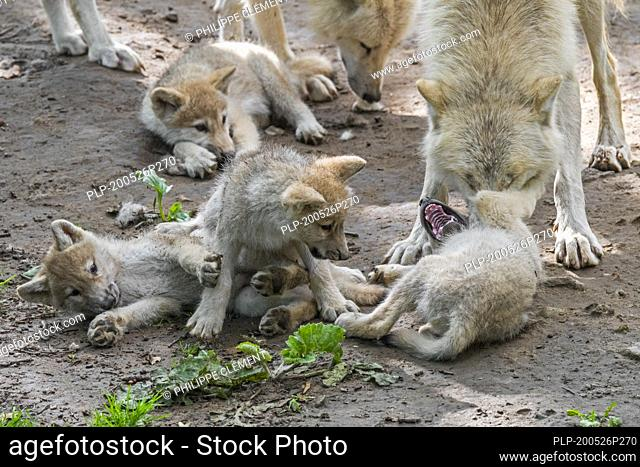 Hudson Bay wolves (Canis lupus hudsonicus) four white wolf pups playing near den with adult, native to Canada