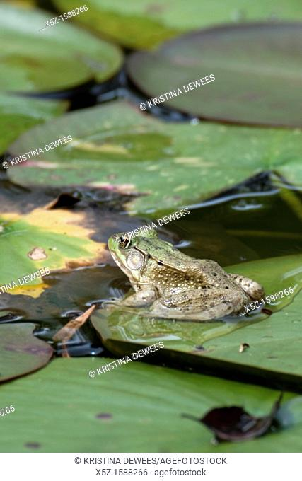 A Green Frog perched on a lilypad