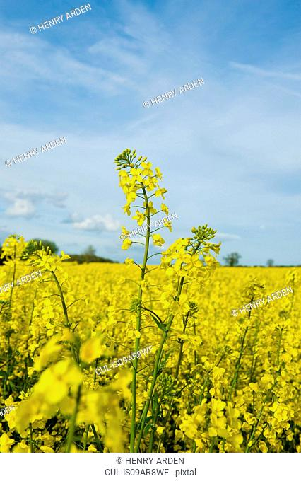 Close up of yellow oil seed rape plants in spring field