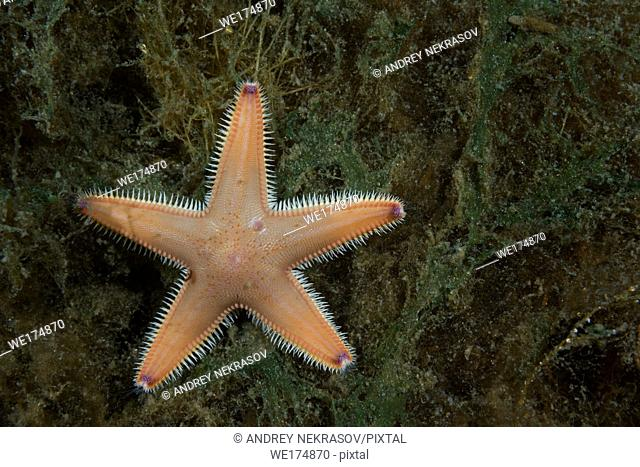 Sand Star(Astropecten platyacanthus) lies on the seaweed. Norwegian Sea, Northern Atlantic, Norway