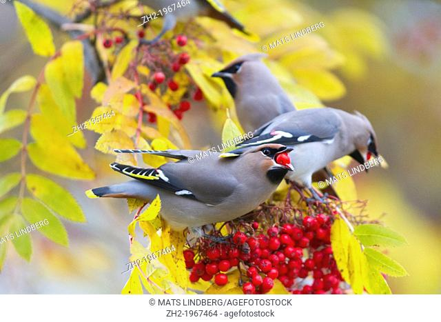 Waxwing, Bombycilla garrulus, sitting in a rowantree in autumn season and eating rowanberries and have on in his beak, Gallinare, Swedish lapland