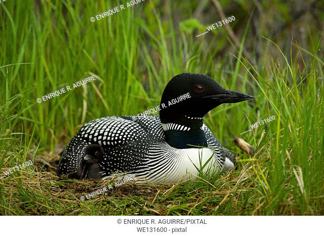 Great Northern Loon (Gavia immer), Common Loon on nest