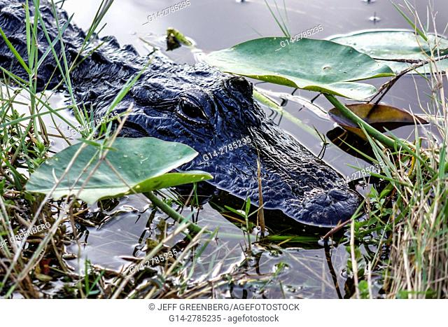 Florida, Everglades National Park, Shark Valley Loop Road, American Alligator mississippiensis