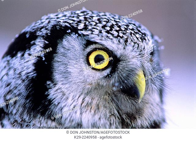 Northern Hawk owl (Surnia ulula) Portrait winter migrant specimen, captured for banding in N. ON, Manitoulin Island, Ontario, Canada