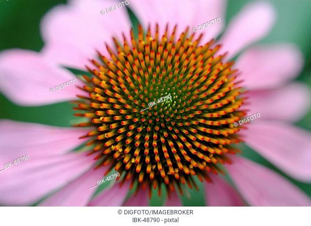 Blossom; purple coneflower