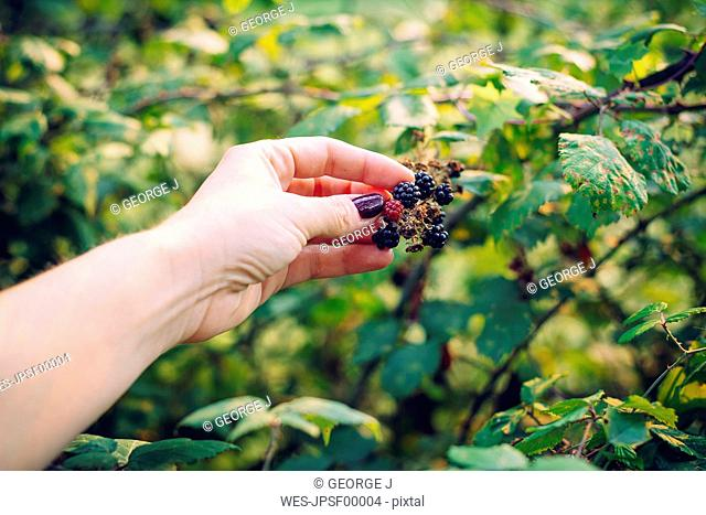 Woman's hand picking blackberries