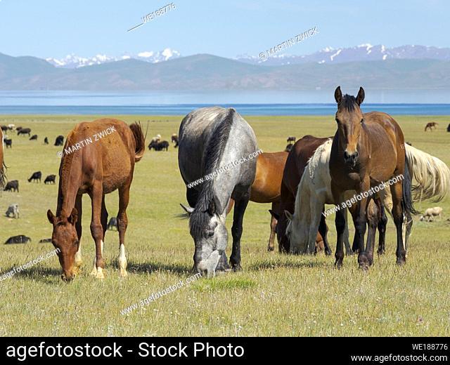 Horses on their mountain pasture at lake Song Kol (Son Kul, Songkoel, Song-Koel). Tien Shan mountains or heavenly mountains in Kirghizia