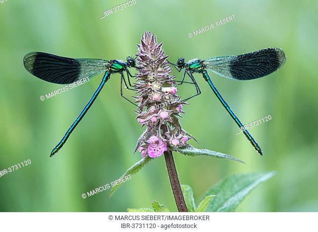 Banded Demoiselles (Calopteryx splendens), Hesse, Germany