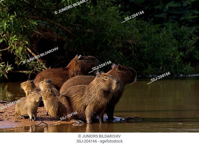 Capybara (Hydrochoerus hydrochaeris).Family with young on a sandbank. Pantanal, Brazil