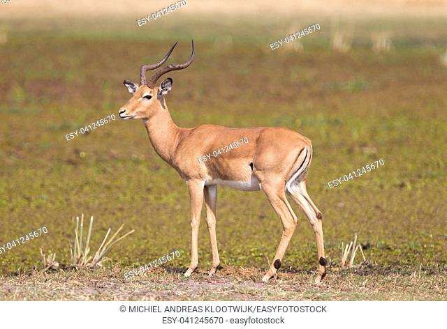 Common Impala (Aepyceros melampus) walking in the Kalahari