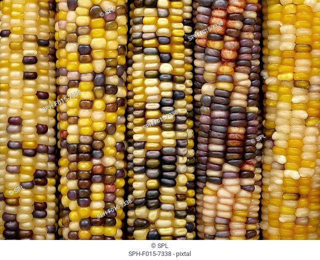 Flint corn (Zea mays indurata), full frame