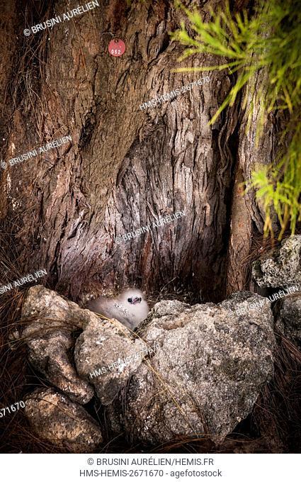 Seychelles, Bird Island, juvenile Yellow-billed Phaeton (Phaethon lepturus) on its ground nest in the hollow of an old tree