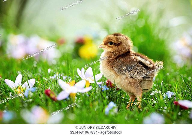 Welsummer Chicken. Chicken in flowering meadow in spring. Germany