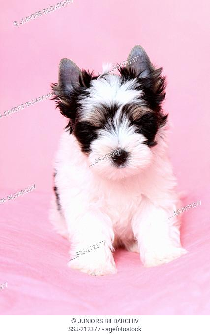 Biewer Terrier. Puppy (7 weeks old) sitting. Studio picture against a pink background. Germany