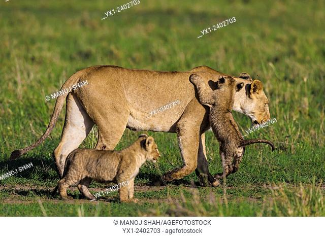 lions - Cubs playing with lioness on a walkabout - Masai Mara National Reserve, Kenya