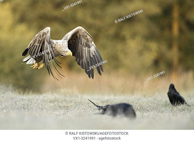 White-tailed Eagle / Sea Eagle / Seeadler ( Haliaeetus albicilla ) in flight close above frozen ground, along the edge of a forest, warm morning light, wildlife