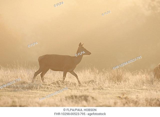 Red Deer Cervus elaphus hind, backlit at dawn, Bradgate Park, Leicestershire, England, autumn