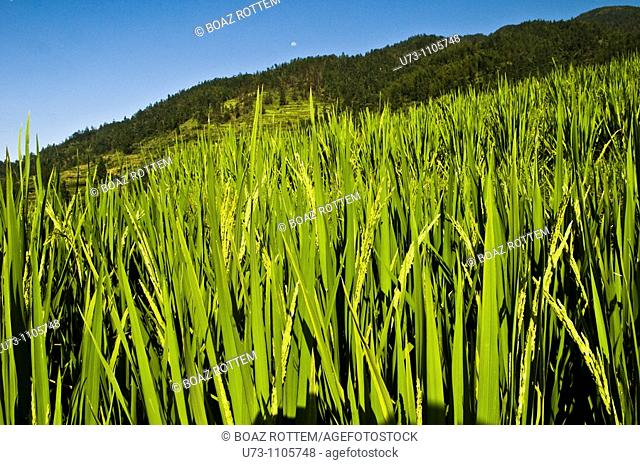 Rice fields in Longji, Guangxi, China