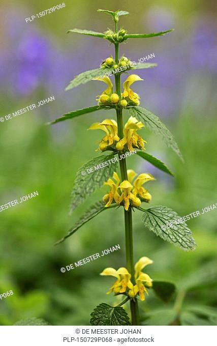 Yellow archangel / artillery plant / aluminium plant (Lamiastrum galeobdolon / Lamium galeobdolon / Galeobdolon luteum) in flower