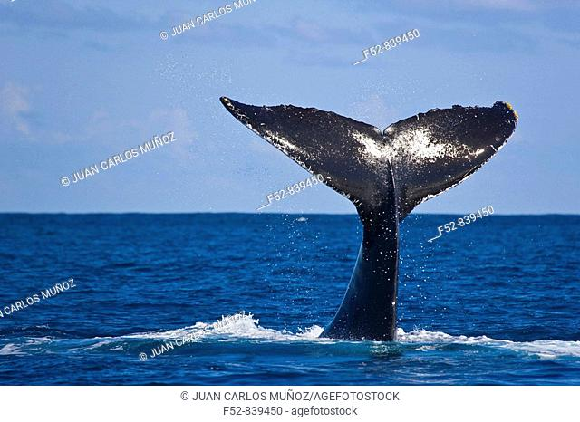 Humpback Whale (Megaptera novaeangliae), Silver Bank Sanctuary for sea mammals, Dominican Republic